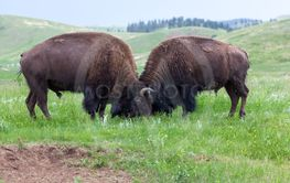Bison Bull Strength Contest