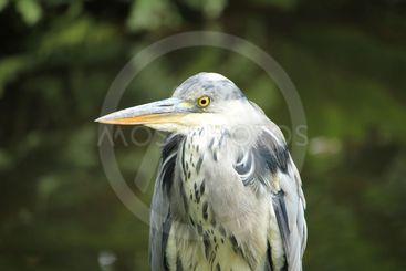 A big grey heron
