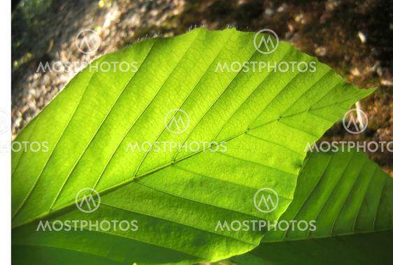 Fagus trädkaktus
