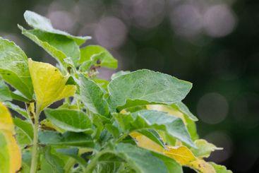 Färskpotatis odlade i hink - Silvertid