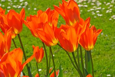 Tulipa, Tulips