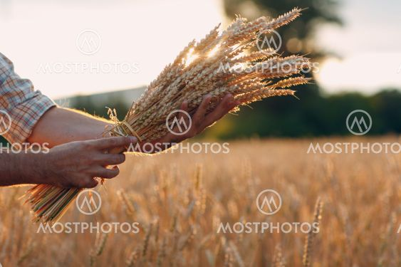Man farmer holds sheaf of wheat ears in cereal field at...