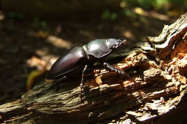 famale stag beetle