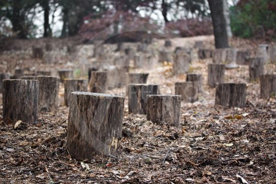Stumps in autumn forest