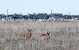 Två harar i en gräsmark