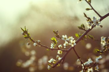 cherry little and simple flowers in spring.Cherry...