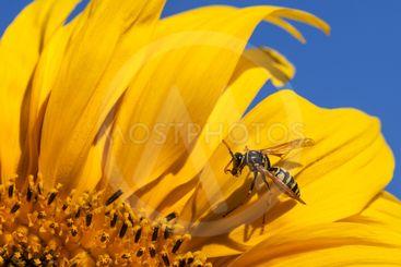 Bee Grooming Itself