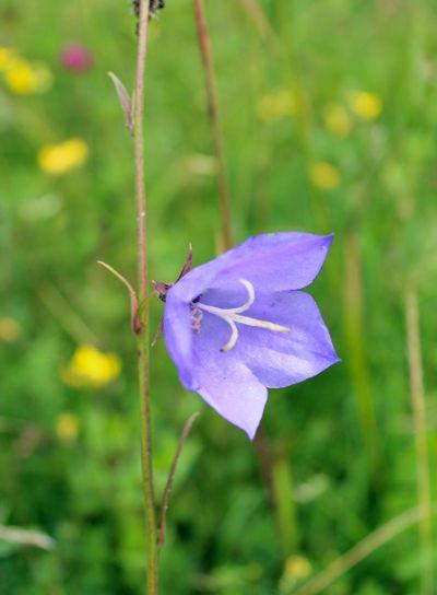 beautiful blue bluebell