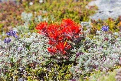 Paintbrush flowers among alpine lichen in Mt. Rainier...