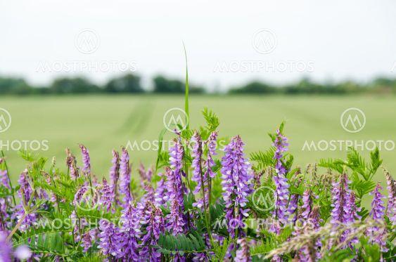 Lila sommarblommor vid ett grönt fält