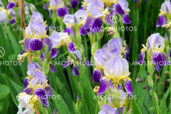 Schwertlilie - iris 39