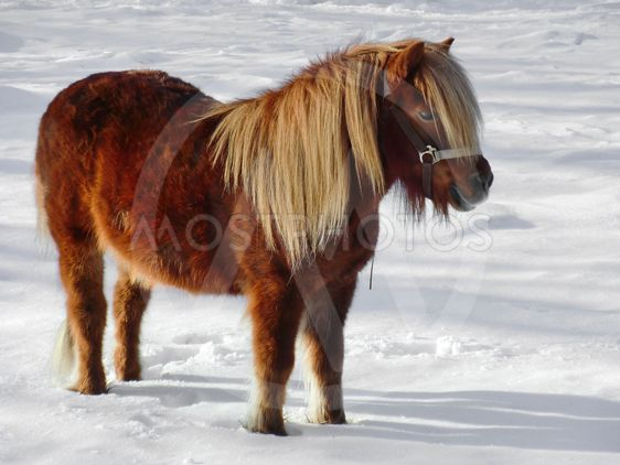 liten häst