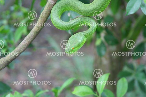 Green Viper By Johnny Ferslev Hansen Mostphotos