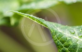 Water droplets on a green leaf in nature