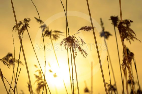 Sea grass in yellow backlight during evening