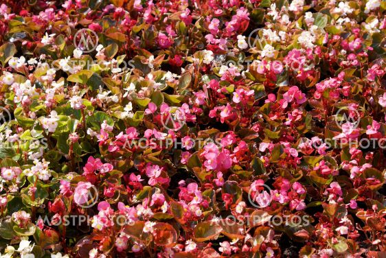 begonia in the klubma