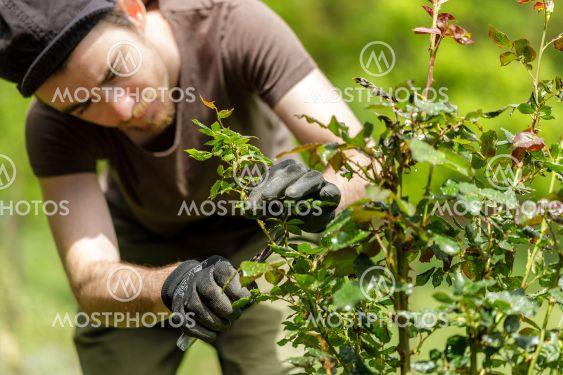young handsom gardener man pruning roses in the garden