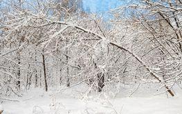 falling tree in winter forest