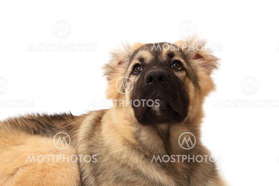 forsiden af bjerget hunde på hvid baggrund