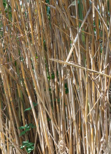 wild reed, in a natural park near barcelona