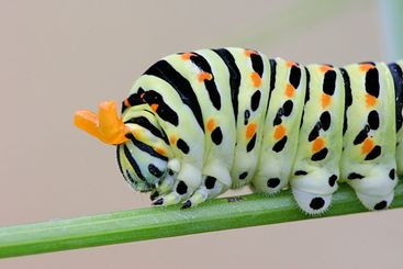 Papilio machaon's caterpillar diffusing bad smell against...