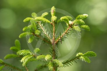 Detail of fresh green fragile spruce buds in forest