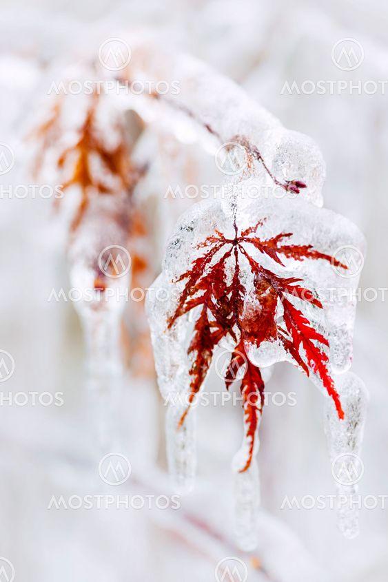 Icy winter leaf