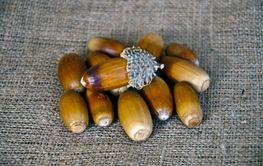 oak seed