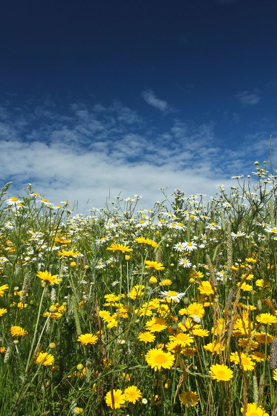 Field with yellow and white daisy flowers