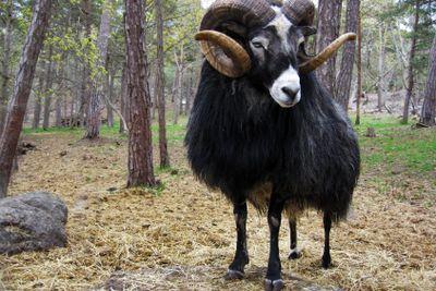 Black Horn Sheep