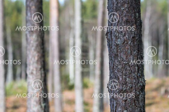 Närbild av en trädstam i en ljus tallskog