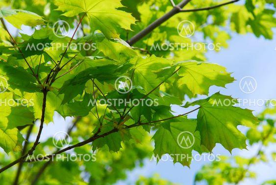 Vihreä lehdet