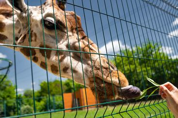 giraffe at zoo feed it grass through bars. wild animals...
