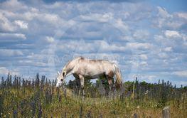 Häst betar bland blommande blåeld på södra Öland
