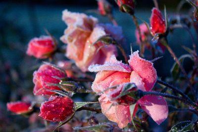 Frosty Pink Rose II