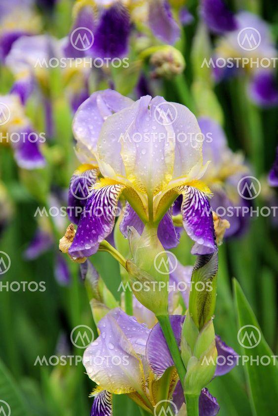Schwertlilie - iris 42