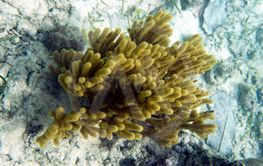 Yellow gorgonian coral in Togian islands, Sulawesi