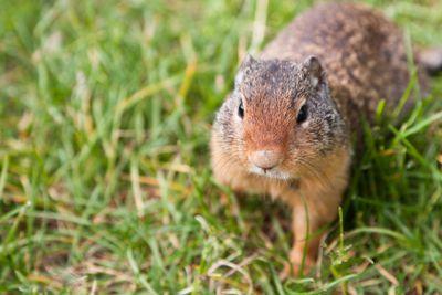 Wild Ground Squirrel