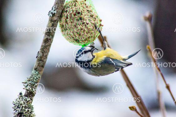 Blåmes fågel