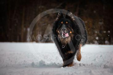 Bohemian Shepherd running in the snow