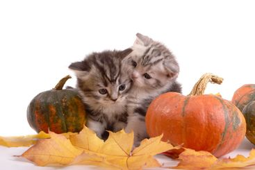 Two kittens and pumpkins on a white background