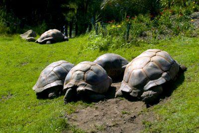 Large overland turtles