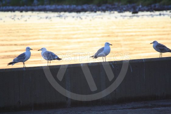 Seagulls smygehamn