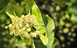 linden flowers. yellow flowers. Medicinal plant
