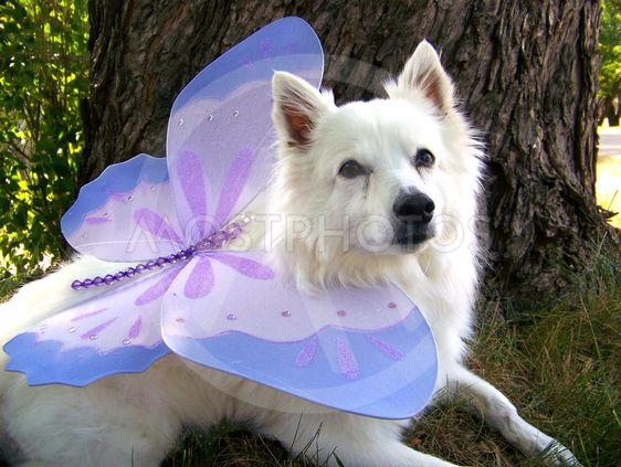 The True Wings of a Fairy Dog