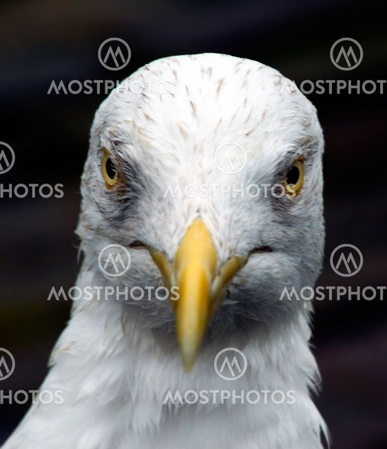 Angry looking Seagull