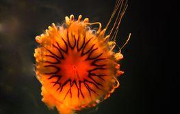 Jellyfish, medusa form
