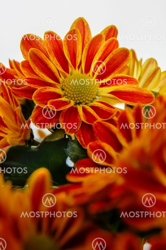chrysanthemum, colorful flower bouquet in full bloom
