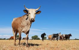 Nguni cow on rural farm - South Africa