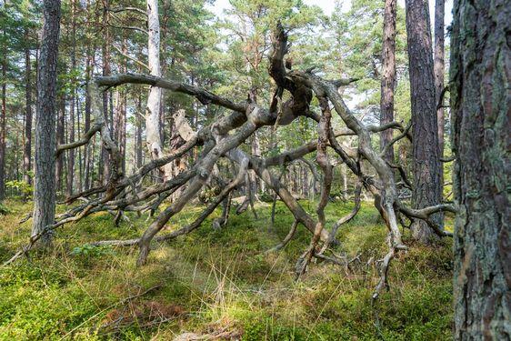 Fallen fura i Skeppersäng naturreservat i Böda Ekopark...